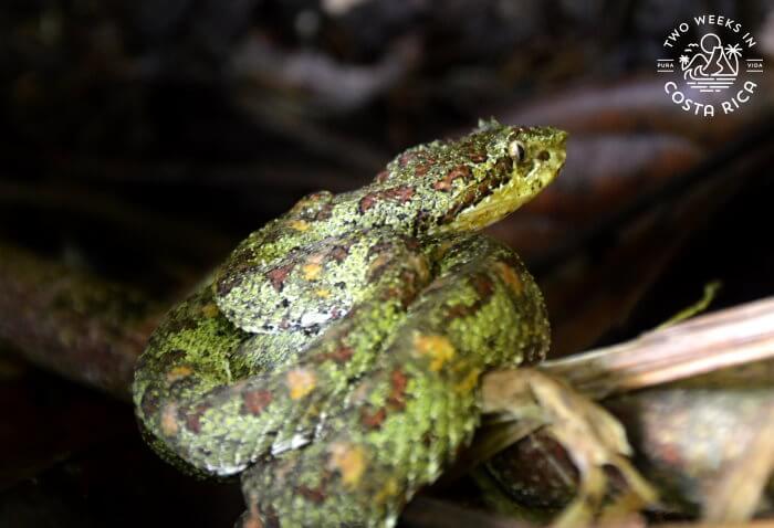 Eyelash pitviper Corcovado National Park
