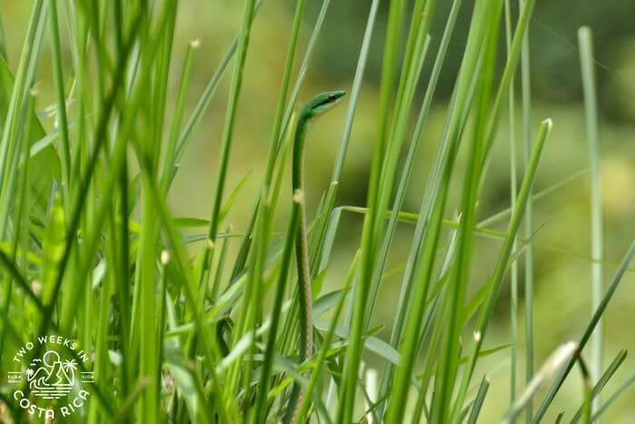 Green Parrot Snake Costa Rica