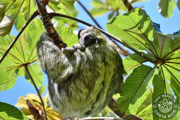 Three-toed mom and baby sloth