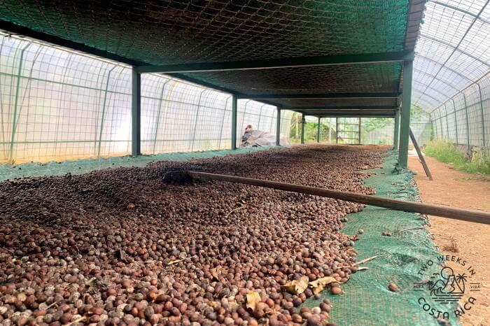 Coffee Drying Greenhouse Costa Rica