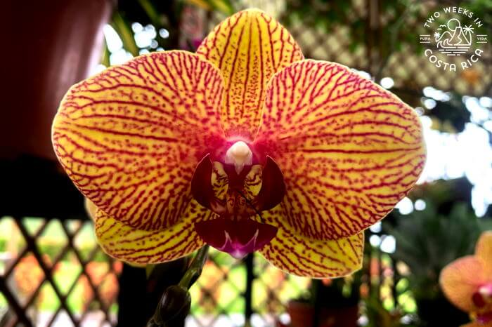 Orange and pink orchid