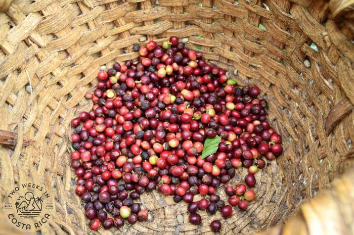 Coffee Cherries Orosi