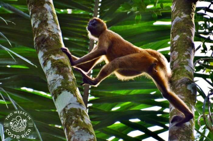 Spider Monkey Tortuguero Canals