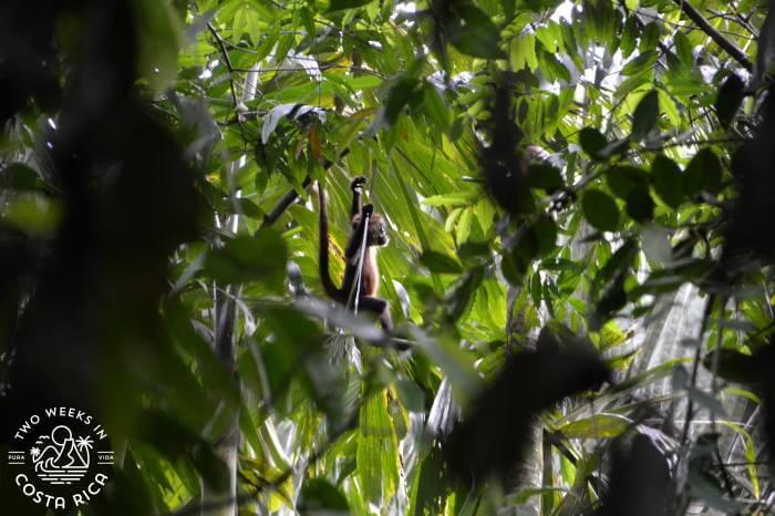 Baby Spider Monkey Tortuguero National Park
