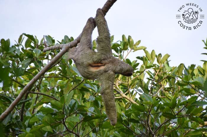 Sloth Bijagua