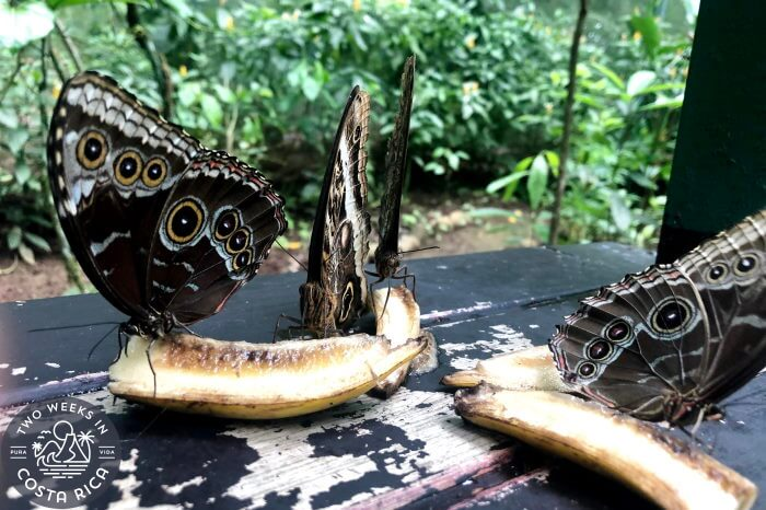 Owl Eye Butterflies La Fortuna