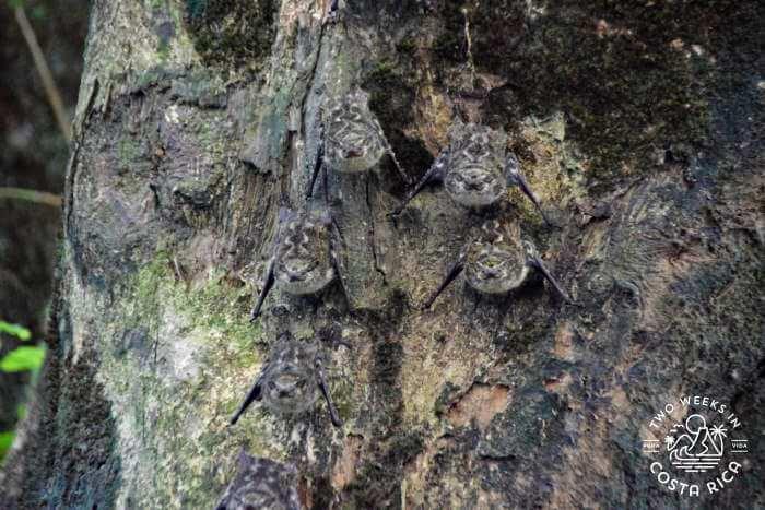 Long nosed bats river float tour La Fortuna