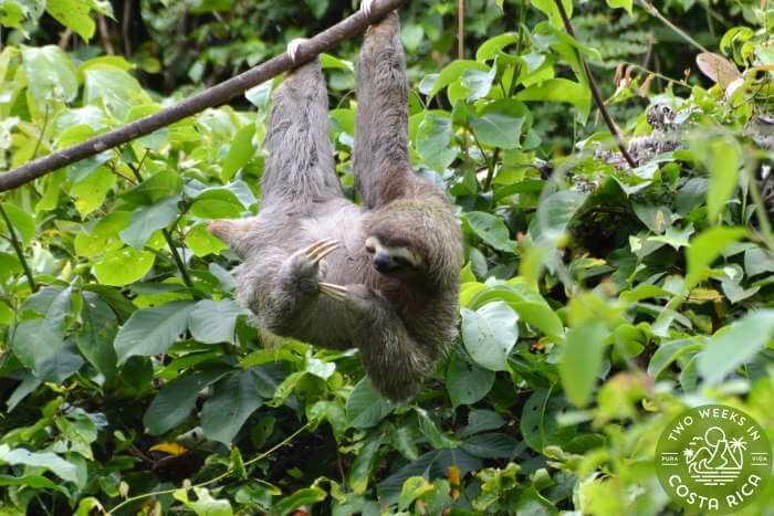 Three-toed sloth La Fortuna