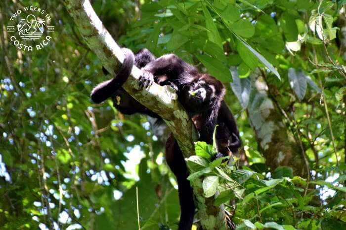 Howler monkey on Penas Blancas River