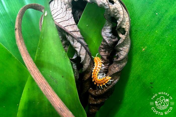 Centipede Ecocentro Danaus