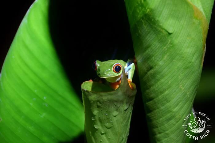 red-eyed tree frog La Fortuna