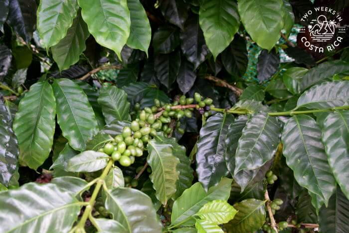 Coffee plants North Fields Cafe