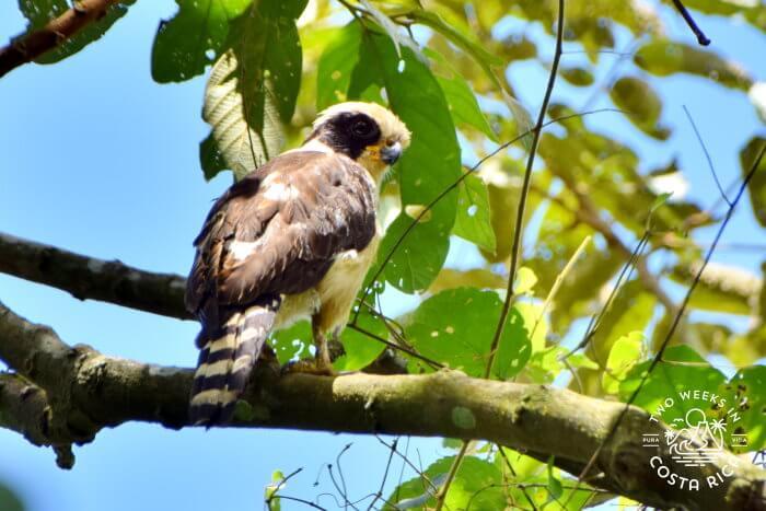 Laughing Falcon Bogarin Trail