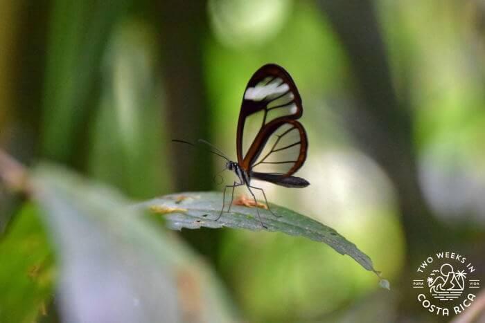 Glass Wing Butterfly Mirador El Silencio