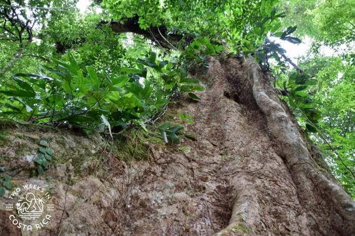 Huge tree Mirador El Silencio