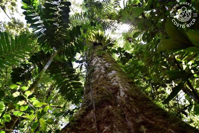 Huge Tree Mistico