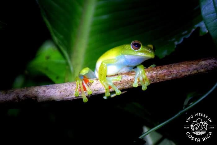 Tree Frog Bijagua